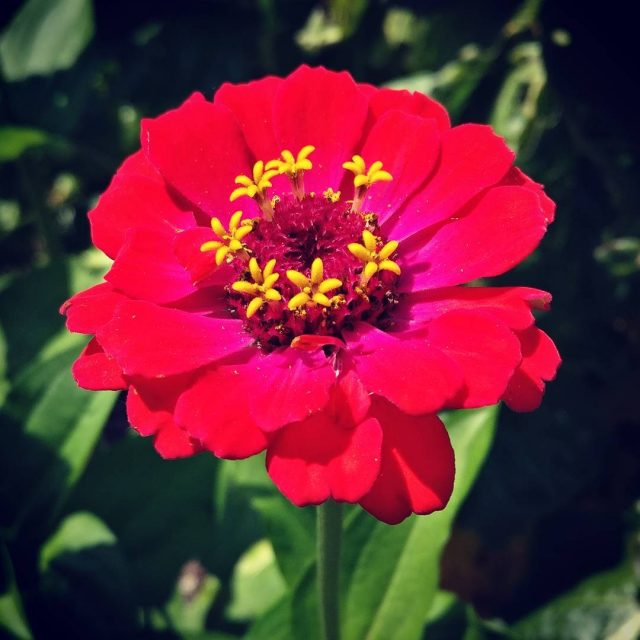 Because Zinnias flowers gardening